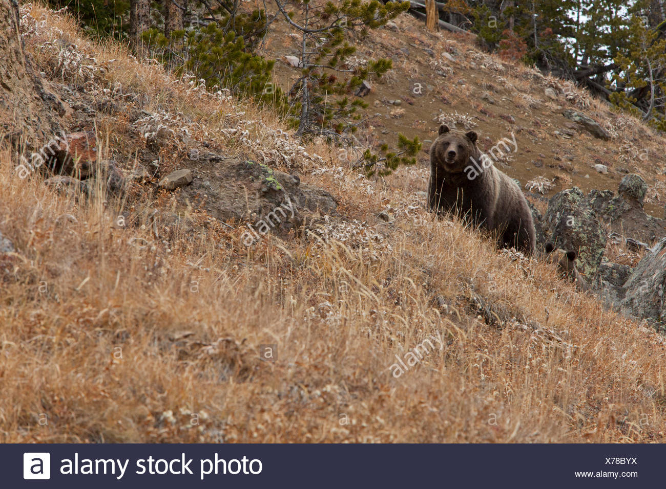 A sow Grizzly appears over a ridge in the mountains of the Bridger Teton National Forest. - Stock Image