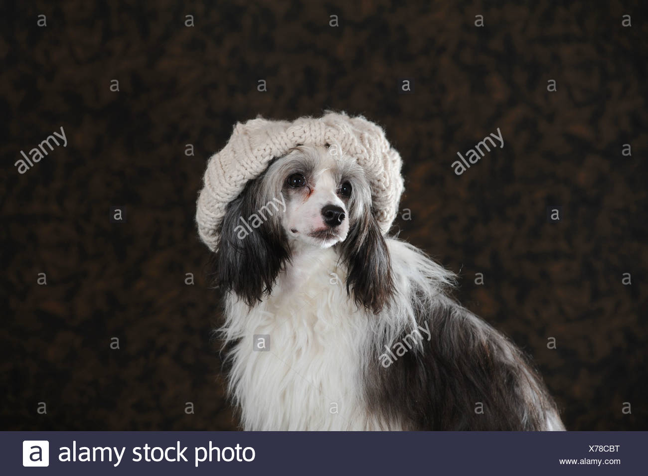 Chinese Crested Hairless Dog, Powderpuff, wearing a light-coloured knitted cap - Stock Image
