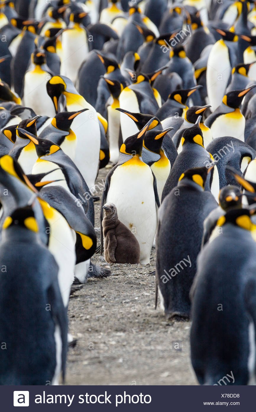 King Penguin with chick, Aptenodytes patagonicus, South Georgia, Antarctica - Stock Image