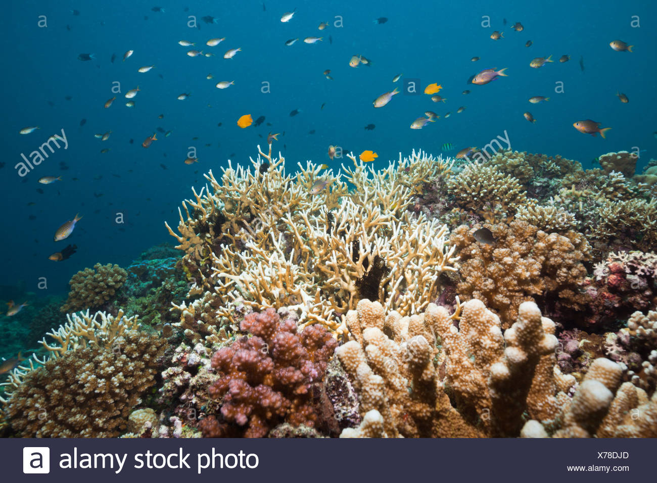 Coral Fishes over Hard Coral Reef, Chromis lineata, Cenderawashi Bay, West Papua, Indonesia - Stock Image