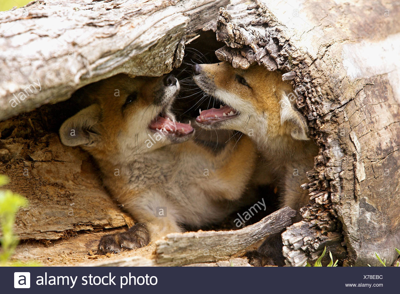 Red Fox Vulpes Vulpes Cubs In A Game Farm Minnesota Usa Stock Photo Alamy