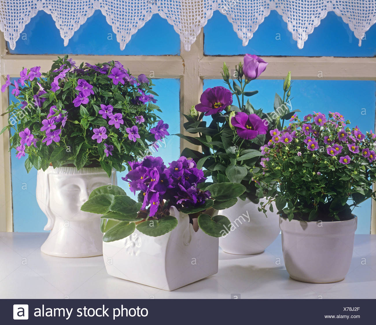 different lilac flowers in pots - Stock Image