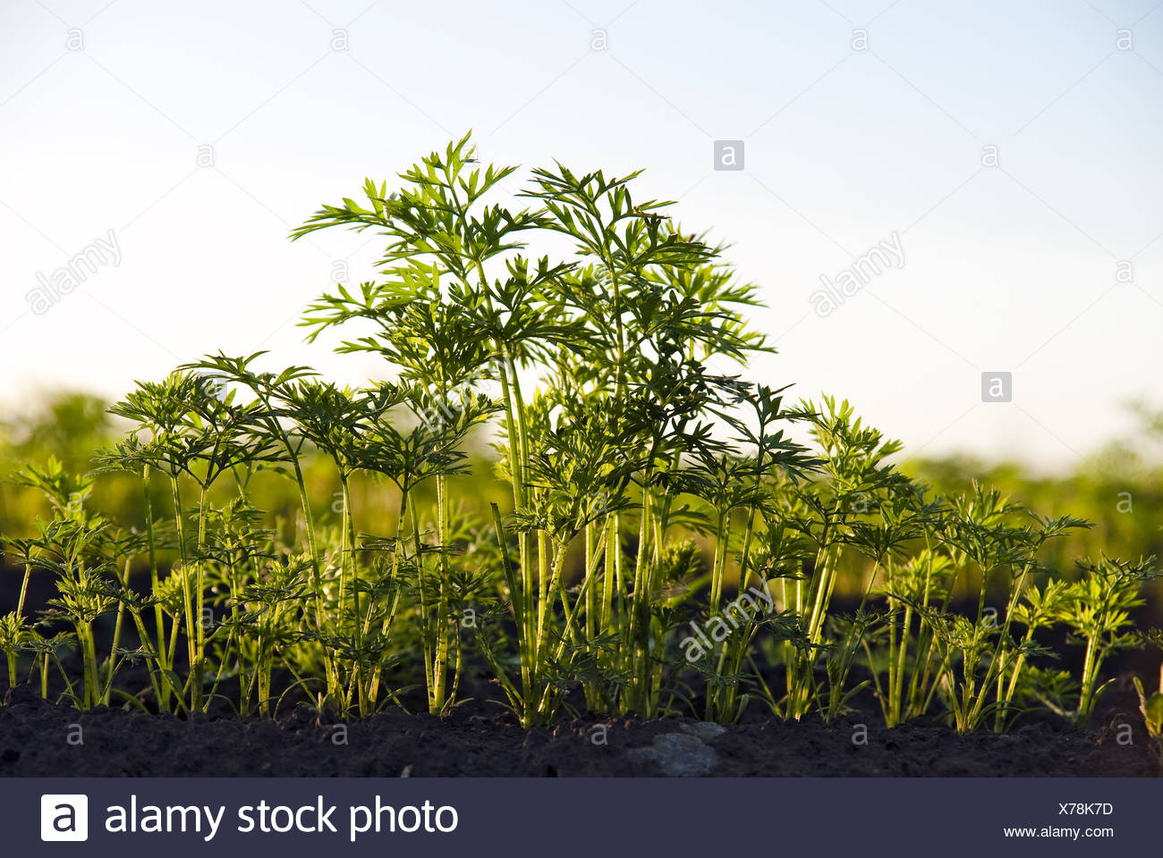 Carrot herb of the field - Stock Image