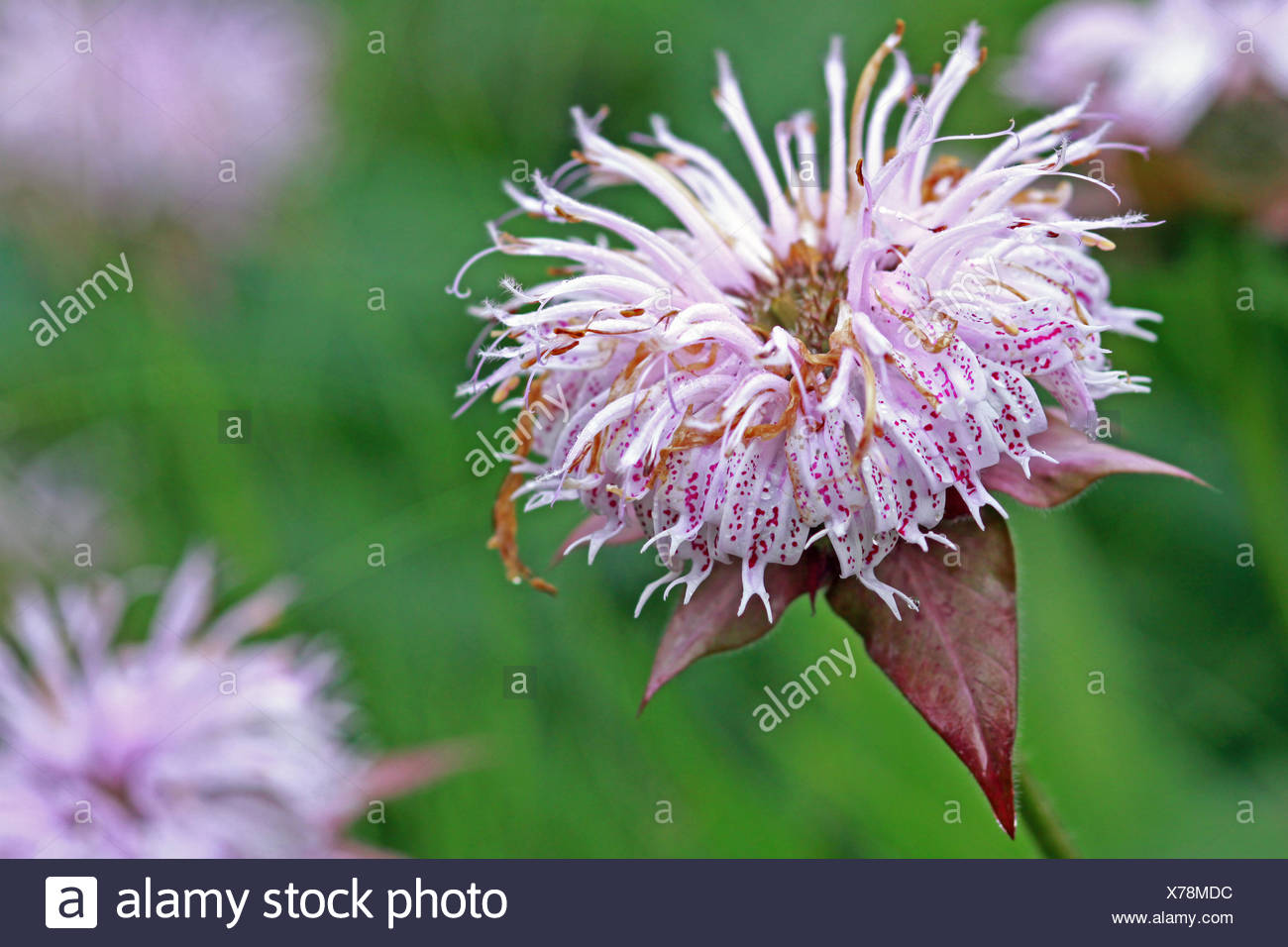 macro, close-up, macro admission, close up view, blossoms, spring, spotted, Stock Photo