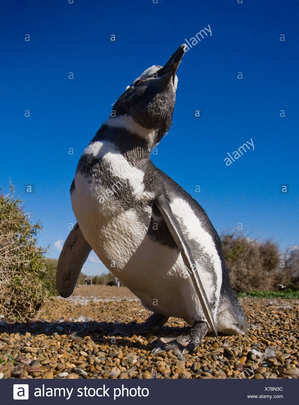 Magellan penguin on the beach, Valdes peninsula, Argentina (Spheniscus magellanicus) - Stock Image