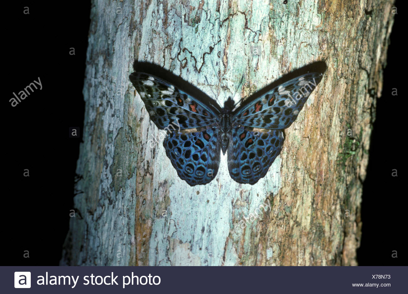 Cracker Butterfly, on tree trunk in rainforest, Belize, Neotropical group of medium-sized brush-footed butterfly species of the genus Hamadryas, Male  - Stock Image