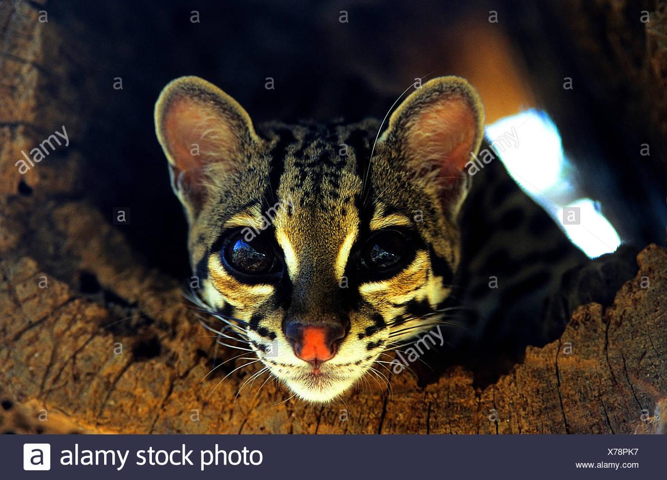 Langschanzkatze, Langschwanz-Katze, Peludo, Margay, Bergozelot, Berg-Ozelot, Baumozelot, Baum-Ozelot (Leopardus wiedii), Portrae - Stock Image