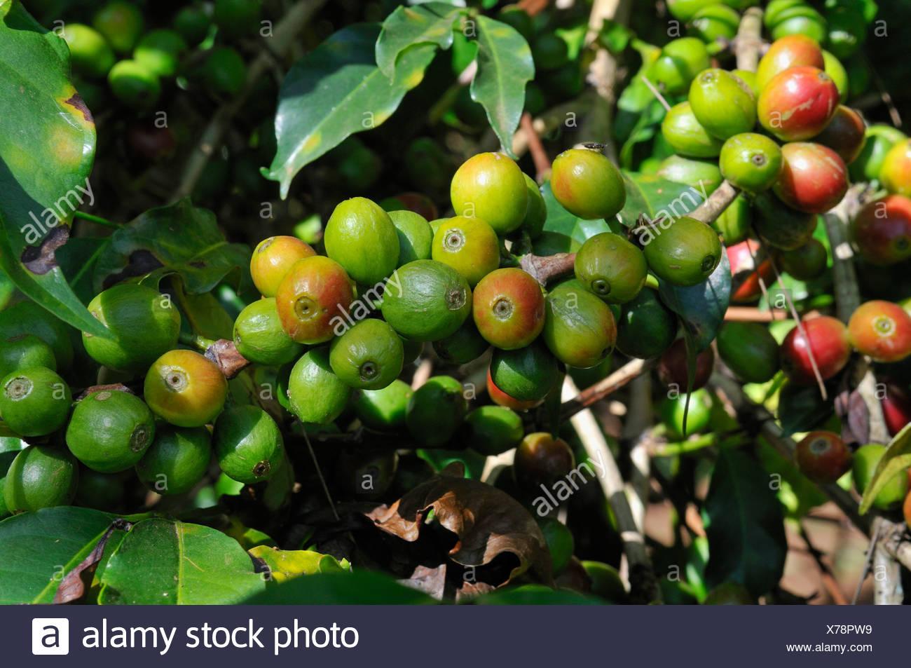 Ripe and unripe coffee berries growing on a tree, Jimma, Kaffa Region, Oromiya, Ethiopia, Africa - Stock Image