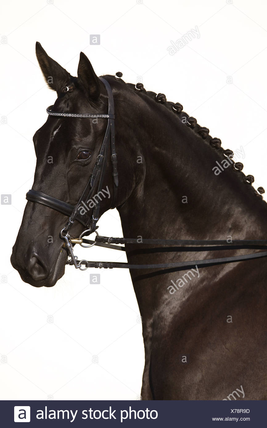 Oldenburger horse - portrait - Stock Image