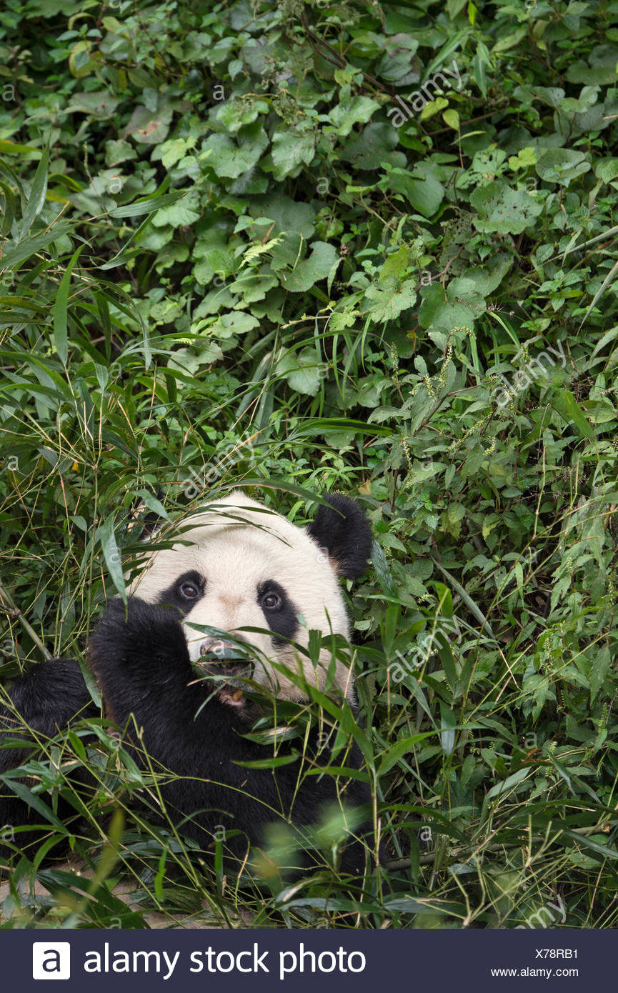A giant panda eats bamboo at the Bifengxia Giant Panda Breeding and Research Center. - Stock Image