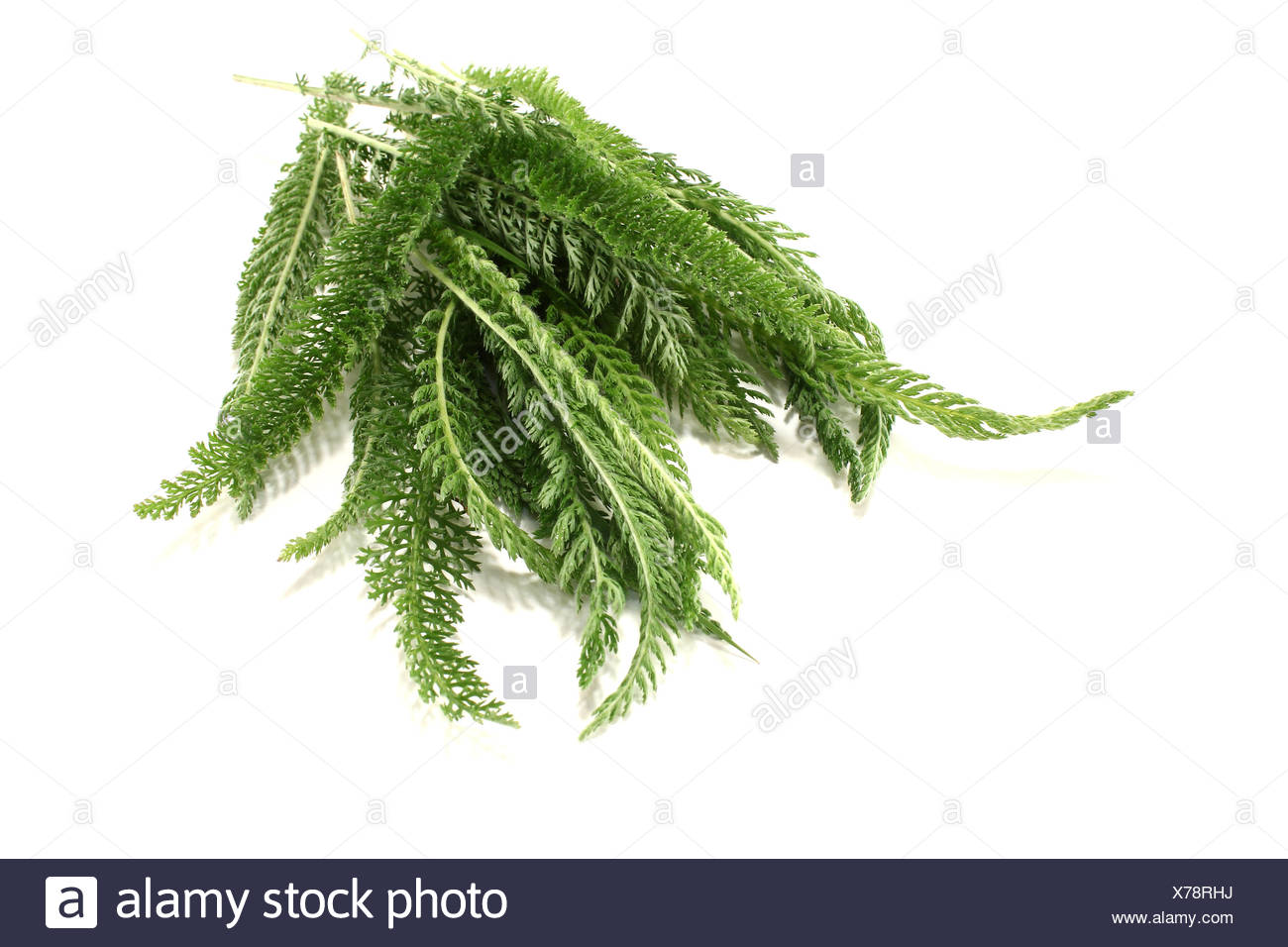 green milfoil - Stock Image