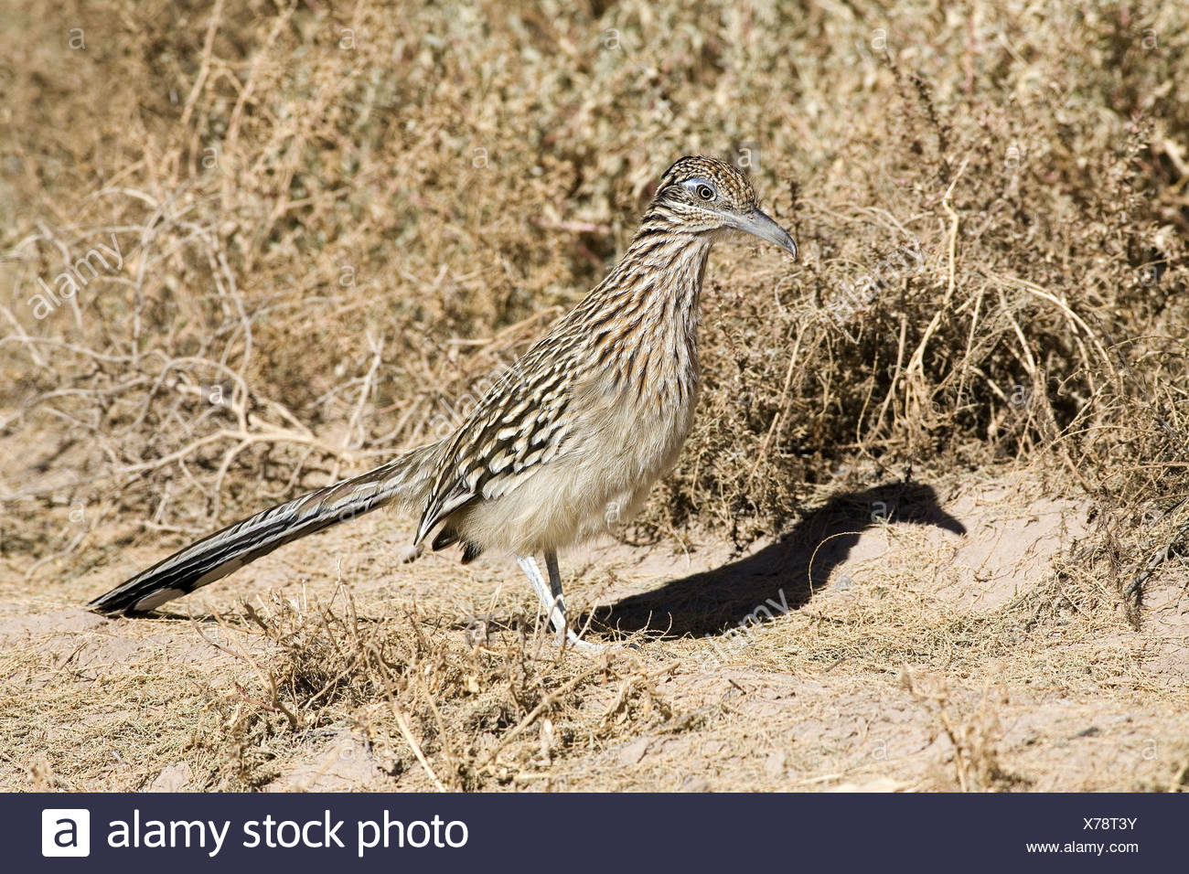 zoology / animals, avian / bird, Cuculidae, Greater Roadrunner (Geococcyx californianus), Bosque del Apache, Wildlife Refuge, New Mexico, USA, distribution: southwest of USA and northern Mexico, Additional-Rights-Clearance-Info-Not-Available - Stock Image