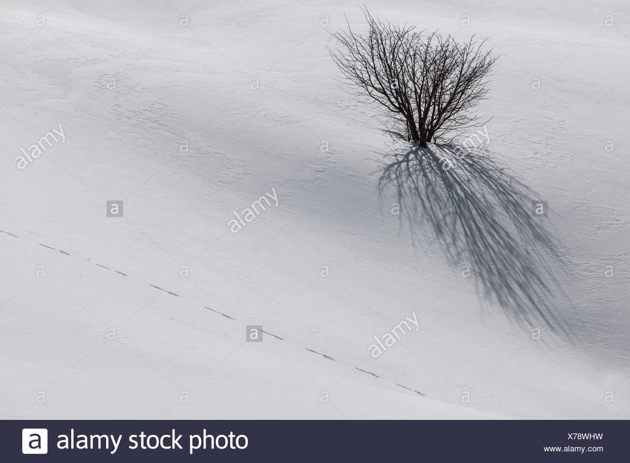 Ligurian Apennines, Piedmont, Italy. A lone tree submerged by snow fall during the winter season. - Stock Image