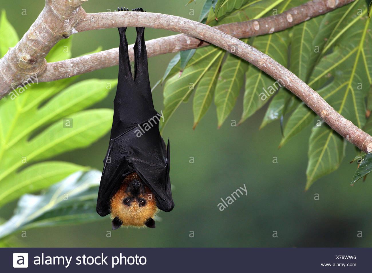 Seychellen-Flughund, Seychellenflughund (Pteropus seychellensis), haengt an einem Ast im Baum, Seychellen | seychelles flying fo - Stock Image