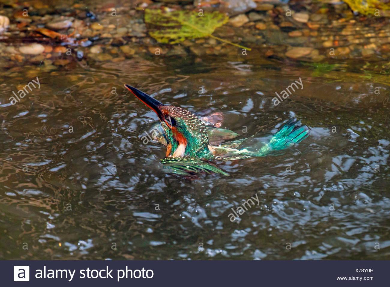river kingfisher (Alcedo atthis), female swims after ineffective foray, Germany, Bavaria - Stock Image