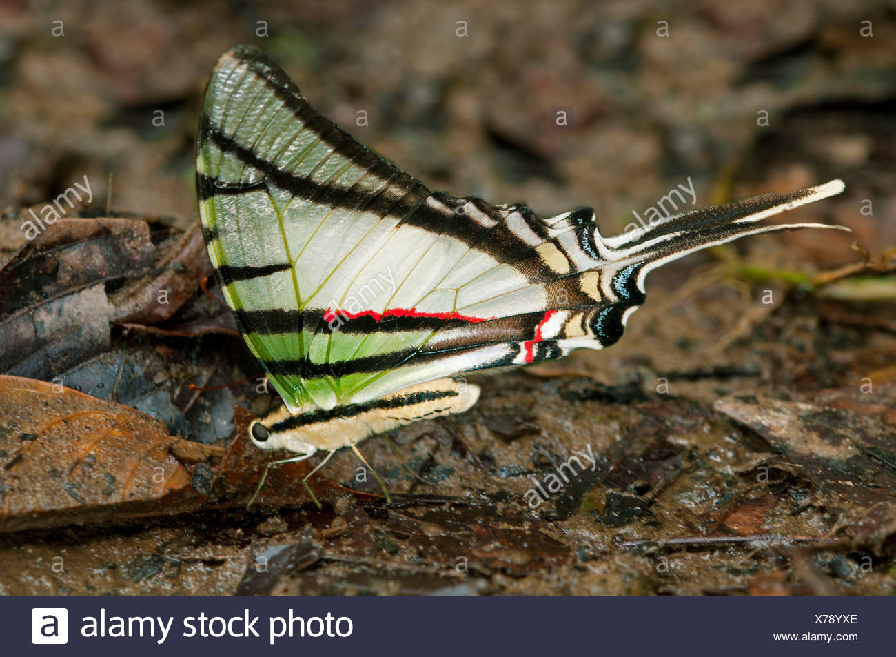 Zebra Swallowtail Butterfly (Euritides protesilanus, Papilionidae), Tiputini rain forest, Yasuni National Park, Ecuador - Stock Image