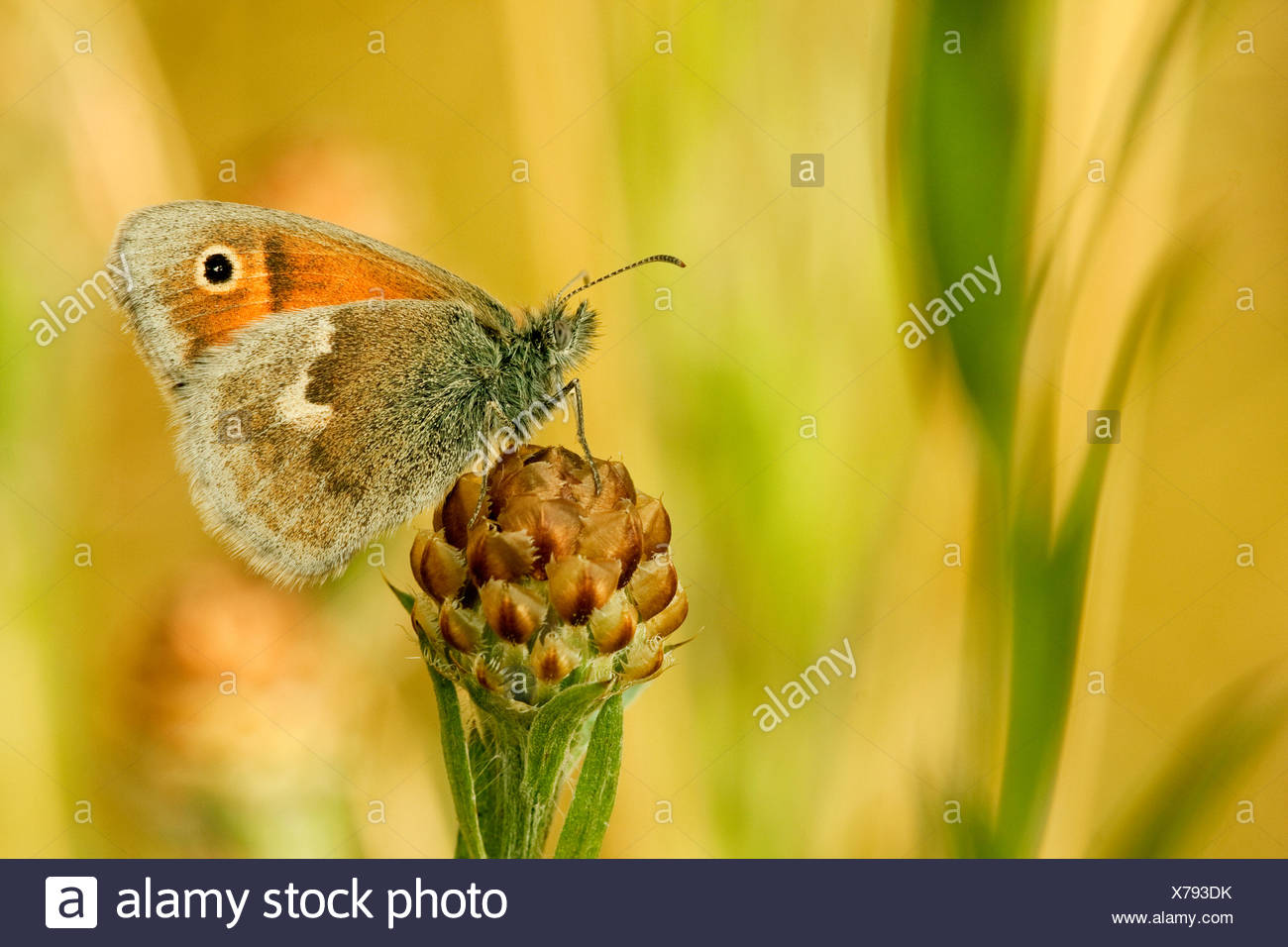 small heath (Coenonympha pamphilus), sitting on inflorescence of a brown-rayed knapweed, Germany, North Rhine-Westphalia - Stock Image