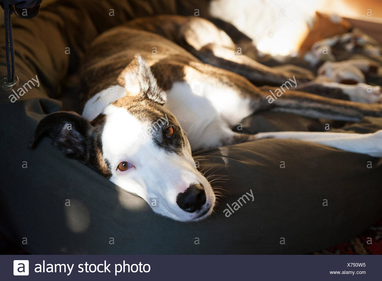 Dog lying in the dog bed - Stock Image