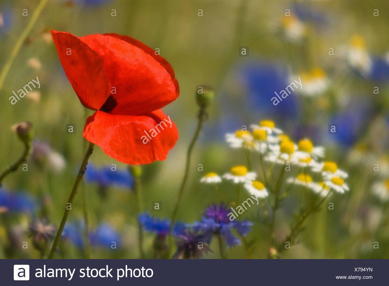 Flower meadow, clap poppy seed, cornflowers, camomile, detail, Stock Photo