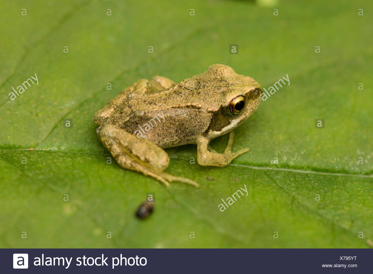 common frog, grass frog (Rana temporaria), exemplar with recently finished metamorphosis sitting on a leaf, Germany - Stock Image
