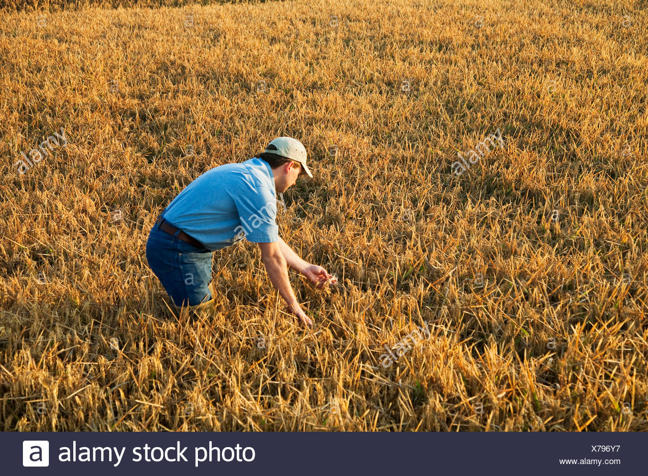 A farmer (grower) in his field inspects his nearly mature rice crop in order to determine when the harvest will begin / Arkansas - Stock Image