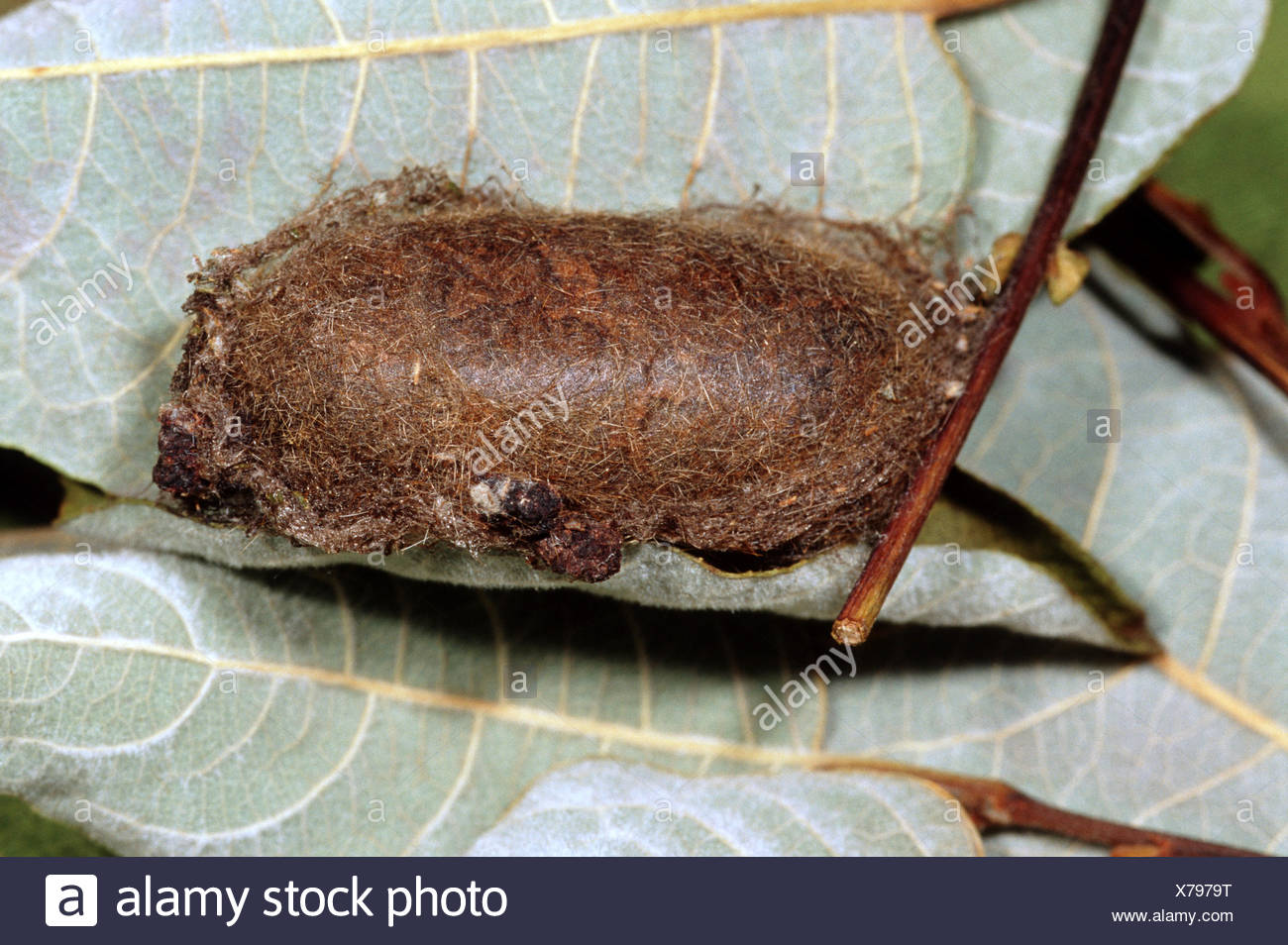 oak eggar (Lasiocampa quercus), Pupal stage, Germany - Stock Image