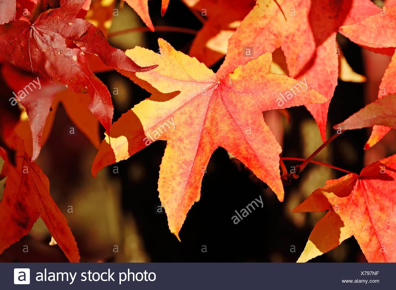 American Sweet Gum, Sweetgum, redgum (Liquidambar styraciflua), leaves in autumn, North Rhine-Westphalia - Stock Image