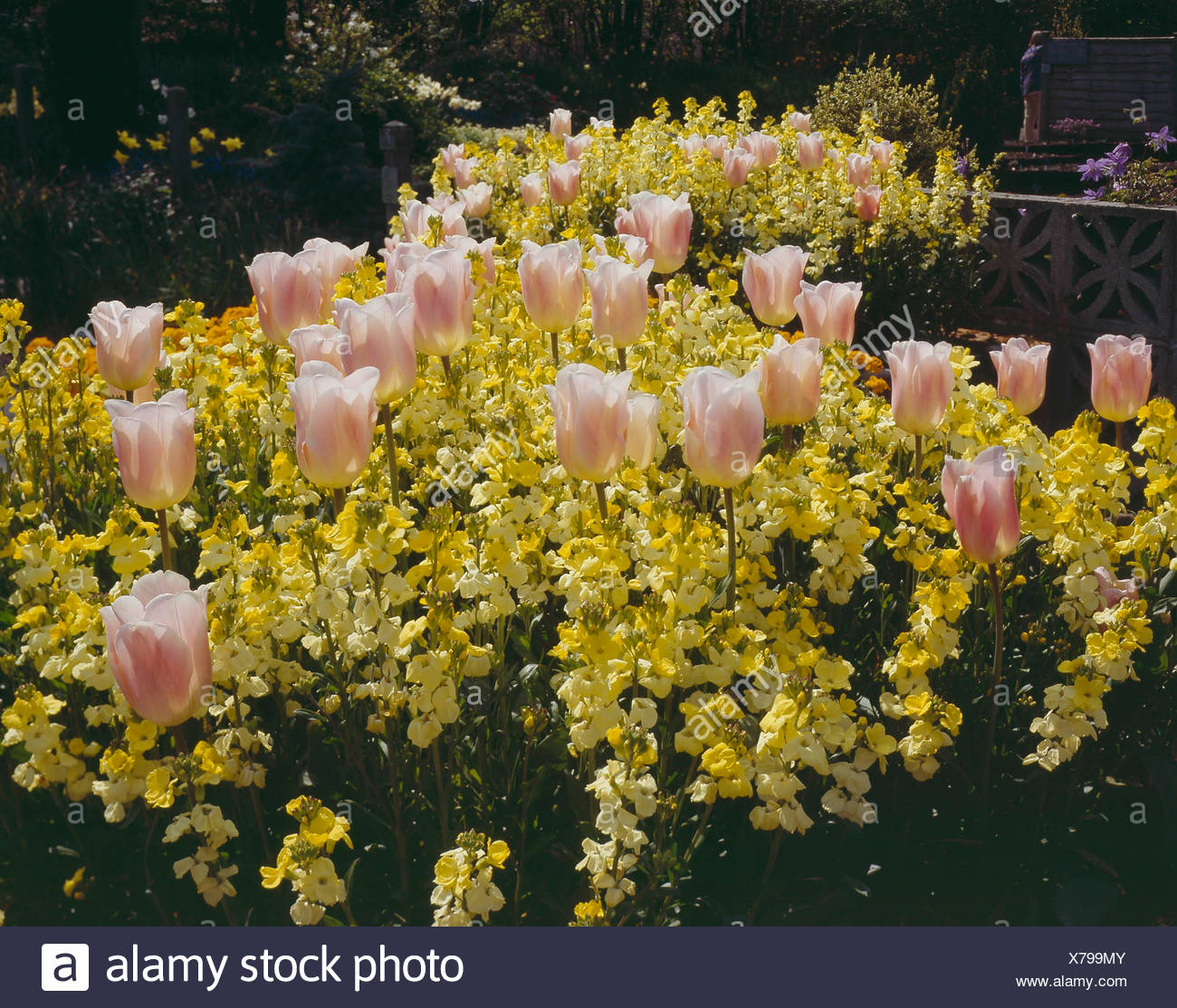 Spring Bedding - with Tulip `Apricot Beauty' and Wallflower `Primrose Monarch'   SBG082087     Photo - Stock Image
