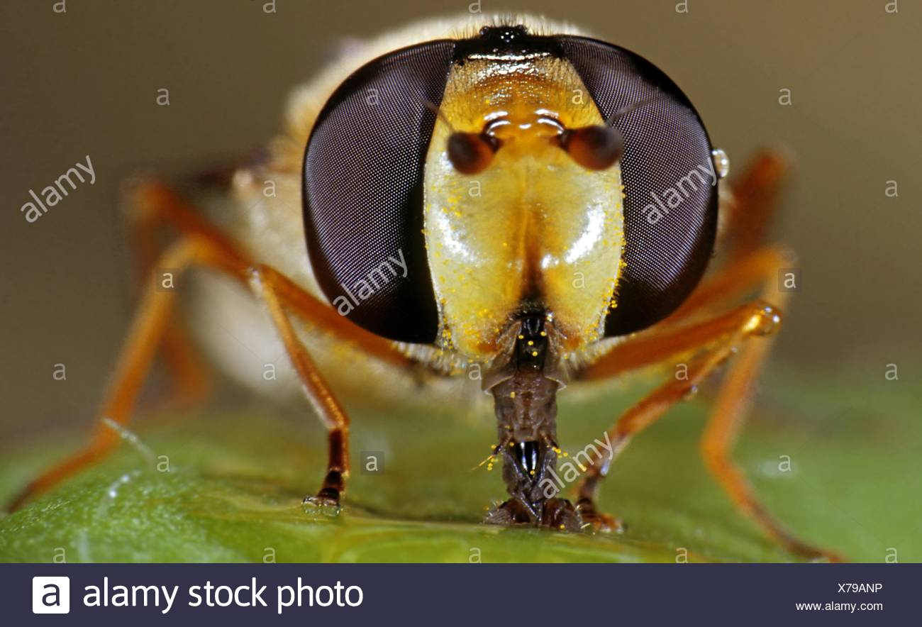 Marmalade hoverfly, Episyrphus balteatus, sucking - Stock Image