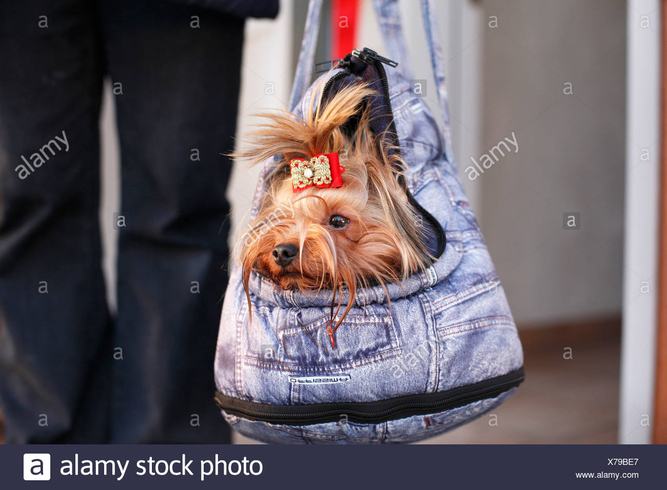 Yorkshire Terrier (Canis lupus f. familiaris), being carried around in a special bag, Germany Stock Photo