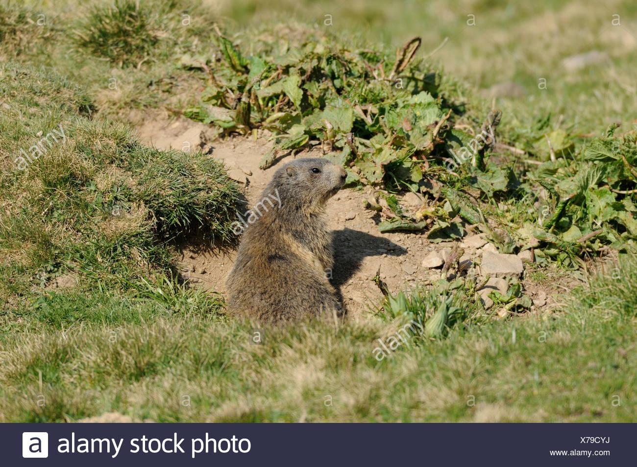 Alpine Marmot, Marmot, Marmota marmota, Sciuridae, animal, rodent, Alps, Alp Präz, Heinzenberg, canton, Grisons, Switzerland - Stock Image