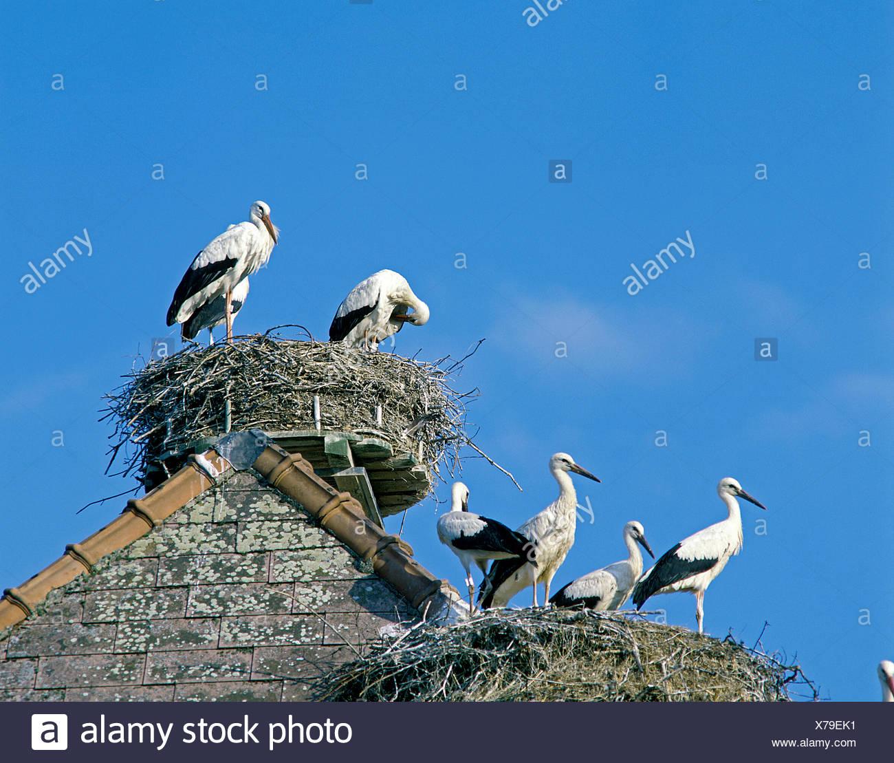 White Stork, ciconia ciconia, Pair on Nest Stock Photo
