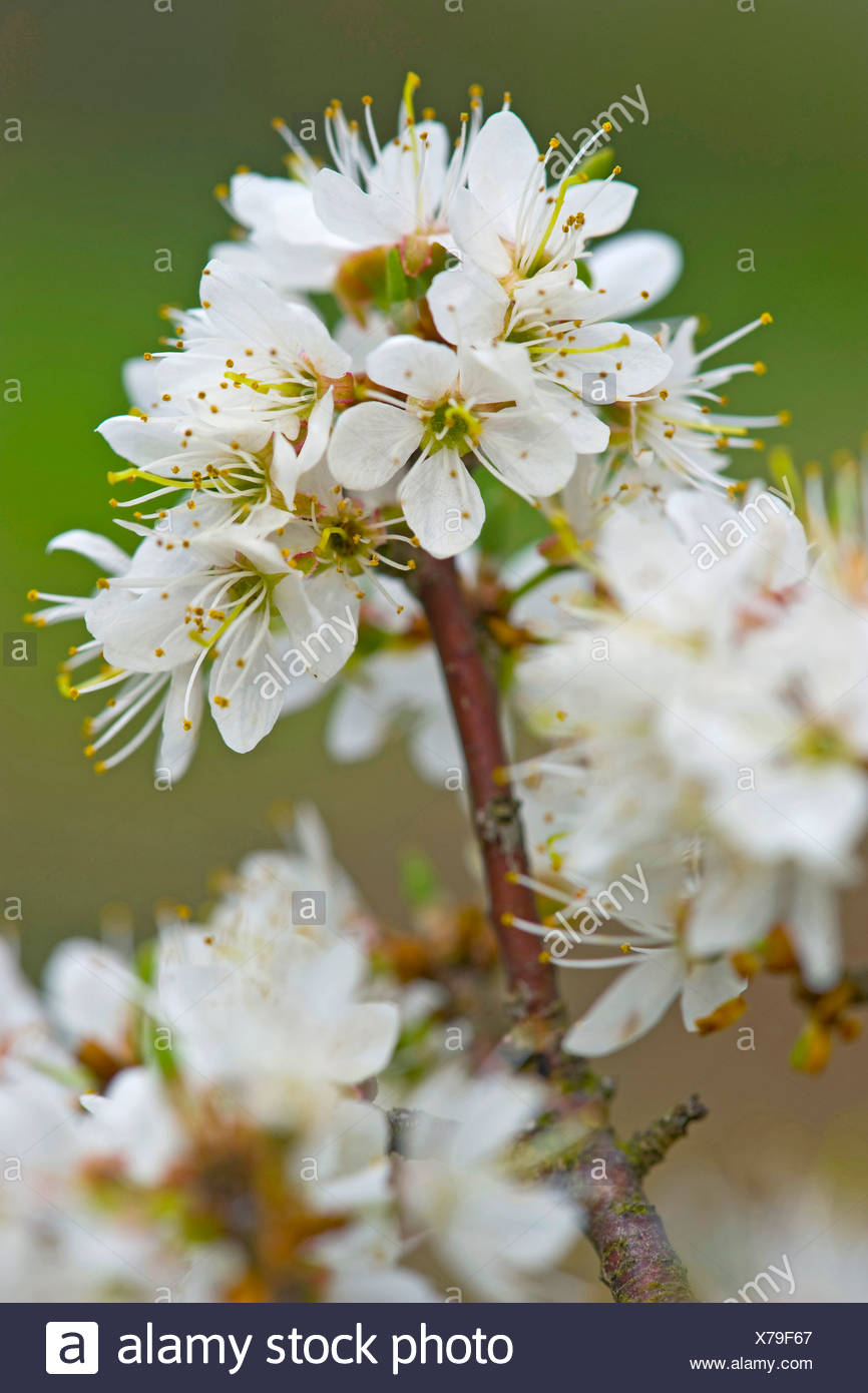 blackthorn, sloe (Prunus spinosa), blooming branch, Germany - Stock Image