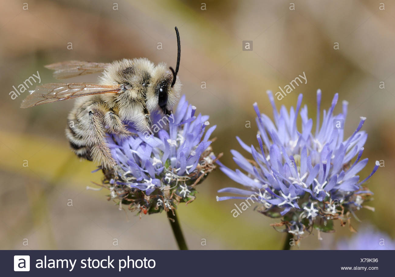 Solitary bee on sheep's-bit flower - Aquitaine France - Stock Image