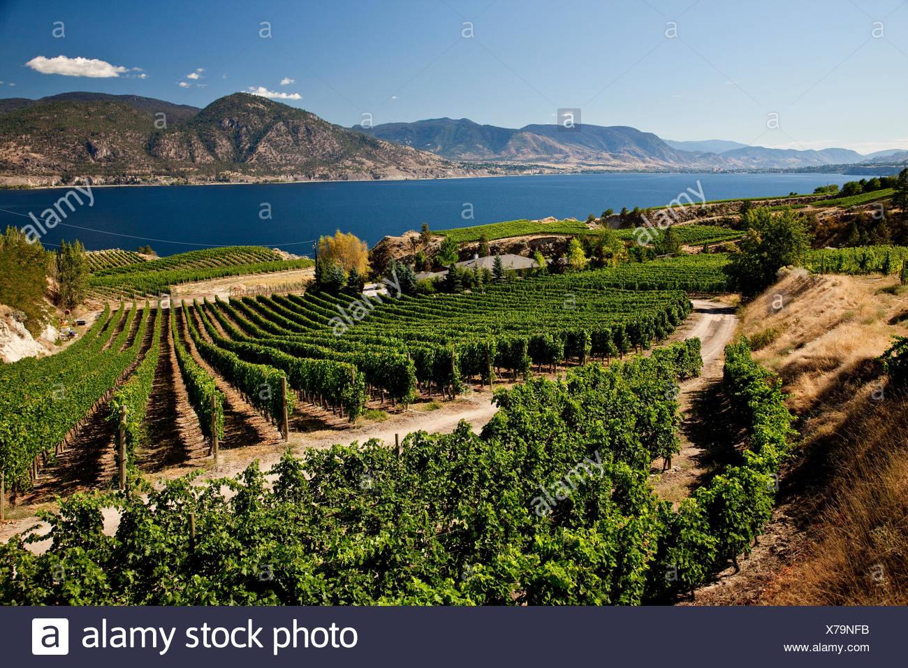 Naramata Bench vineyards near Penticton, Okanagan Valley, BC, Canada. - Stock Image