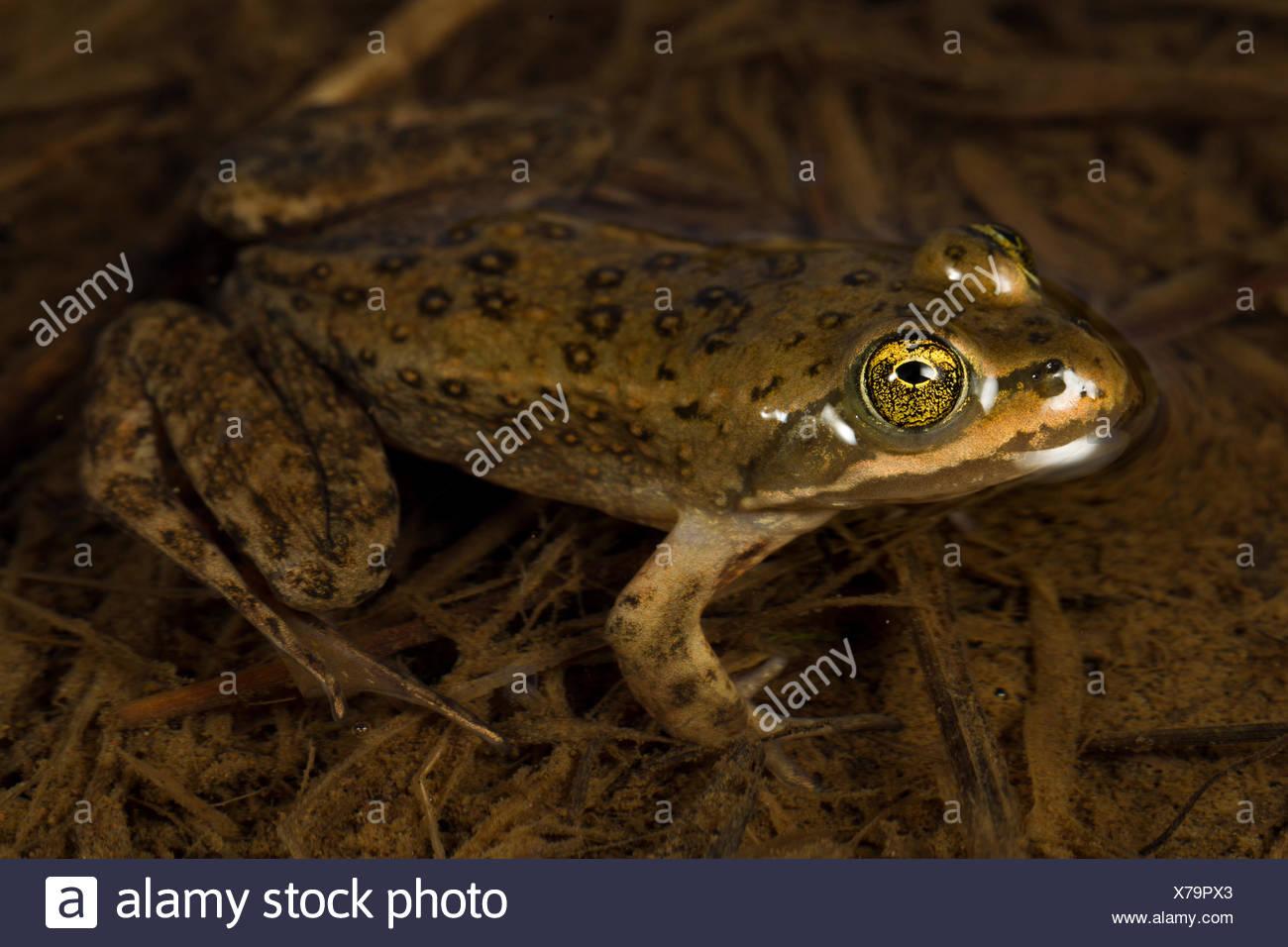 Oregon Spotted Frog - Conboy Lake Washington USA Stock Photo