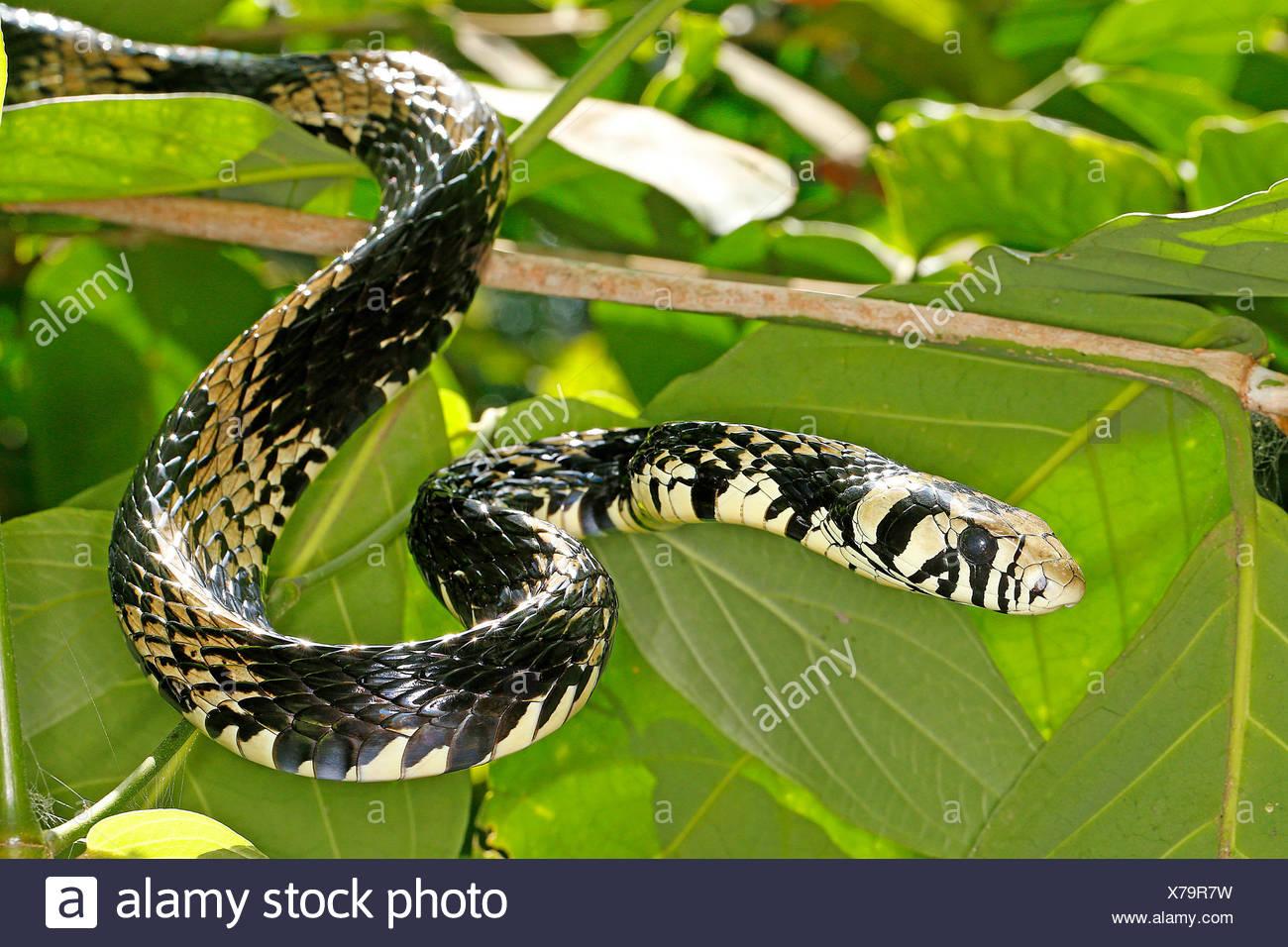Huehneresser, Huehnerfresser (Spilotes pullatus), Portraet, Costa Rica | Tropical chicken snake, Tiger Ratsnake (Spilotes pullat - Stock Image