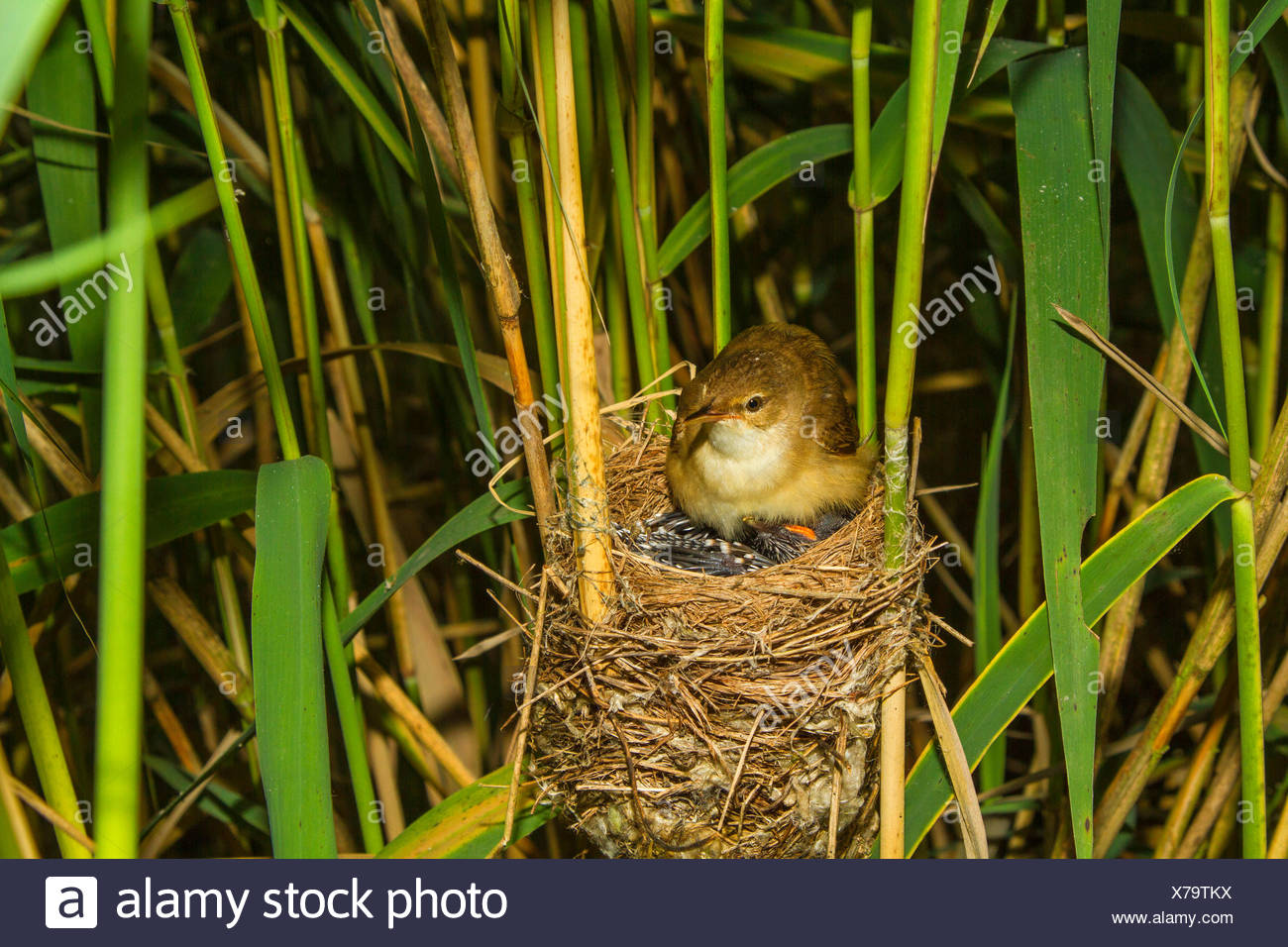Eurasian cuckoo (Cuculus canorus), reed warbler gathering under the wings a six days old young cuckoo in the nest, Germany, Bavaria, Oberbayern, Upper Bavaria - Stock Image