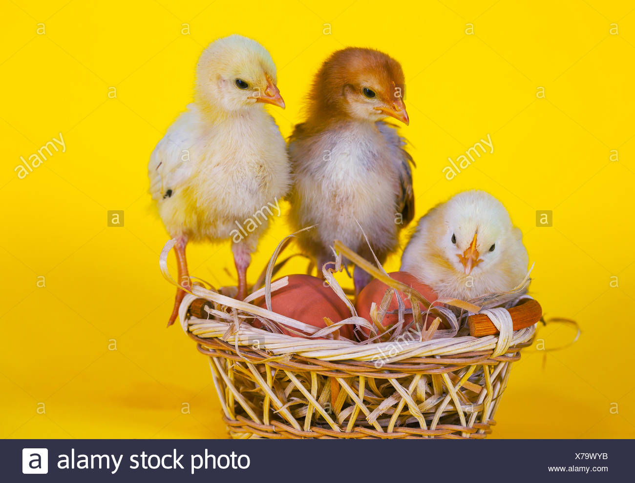 Small baby chickens with Easter eggs - Stock Image