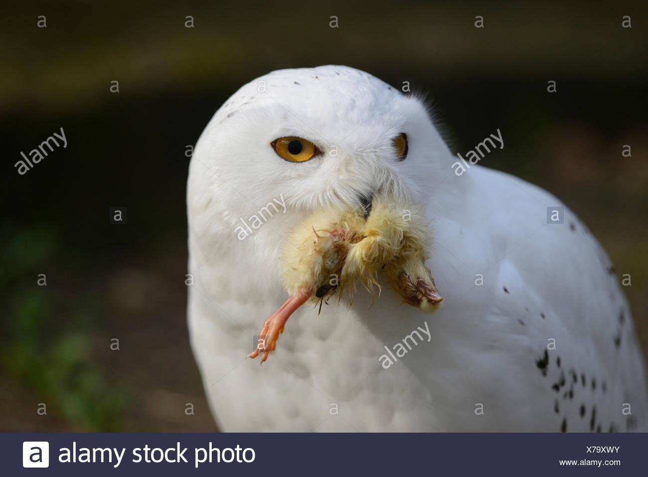 Snowy Owl Catching Prey Stock Photos & Snowy Owl Catching