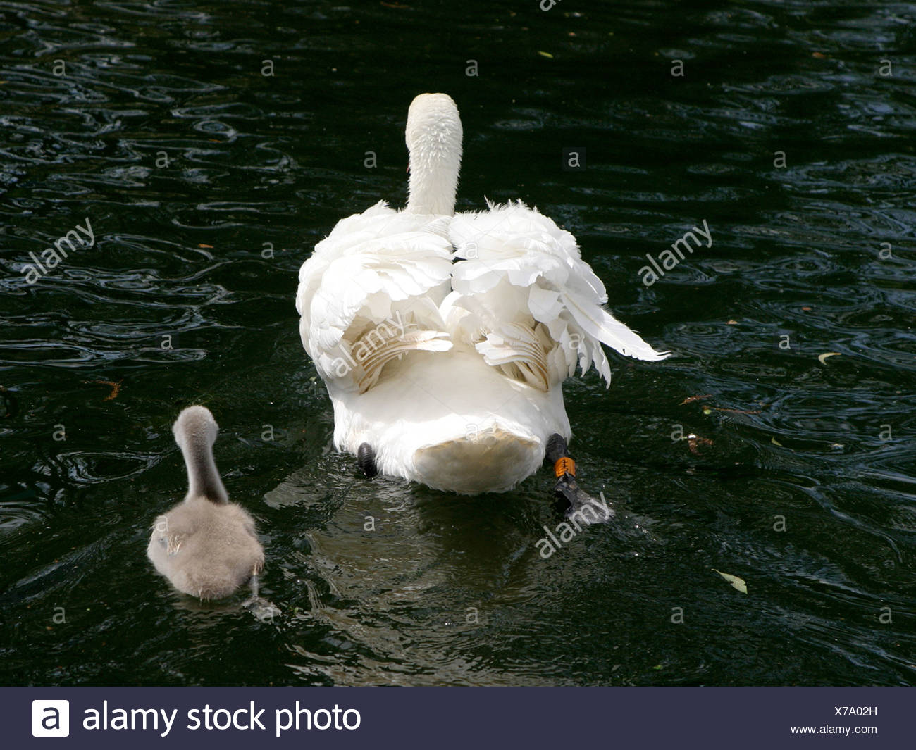 A mute swan with young. - Stock Image