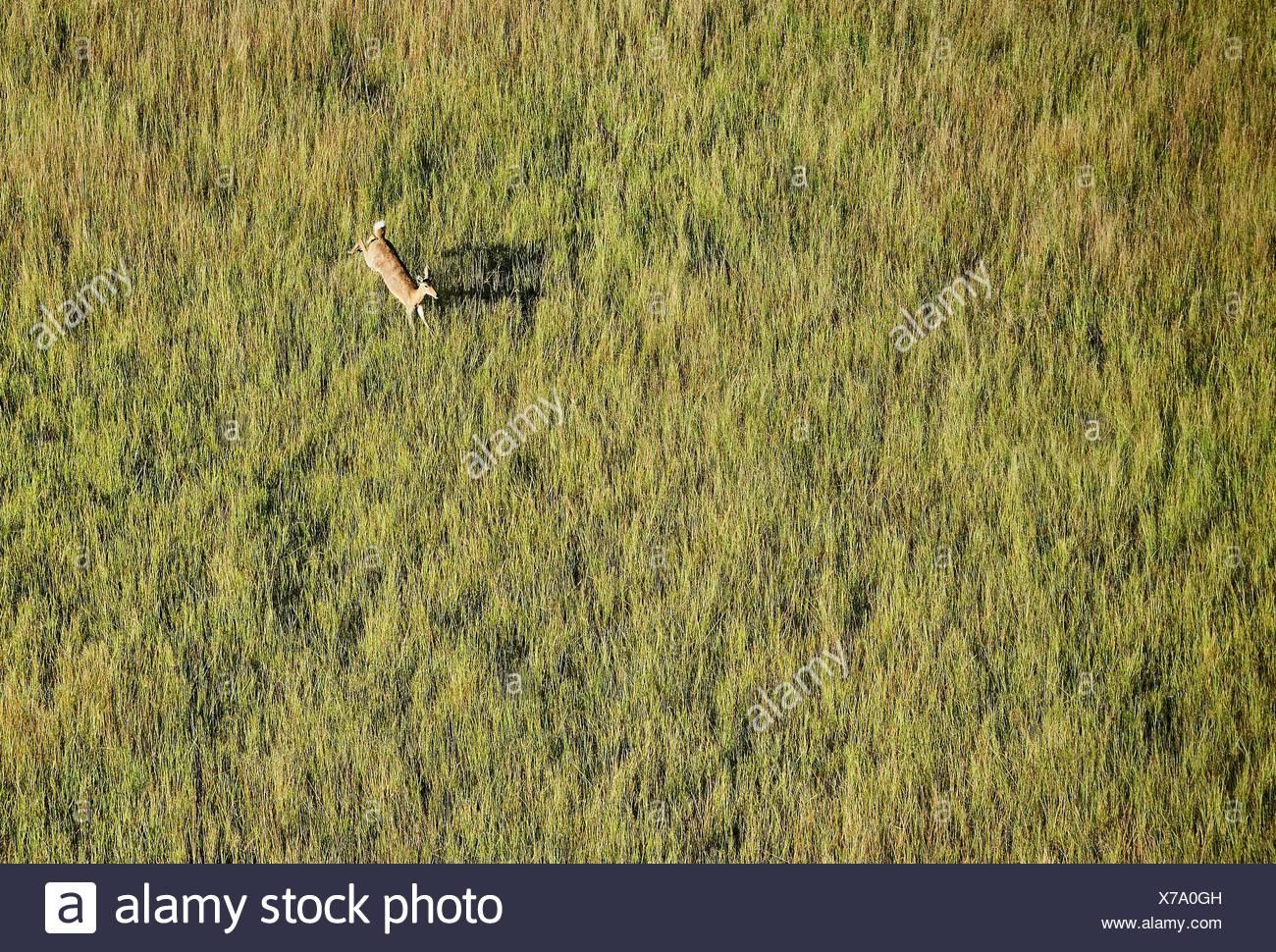 Aerial view of Lechwe (Kobus leche) jumping, Okavango Delta, Botswana, Africa. - Stock Image