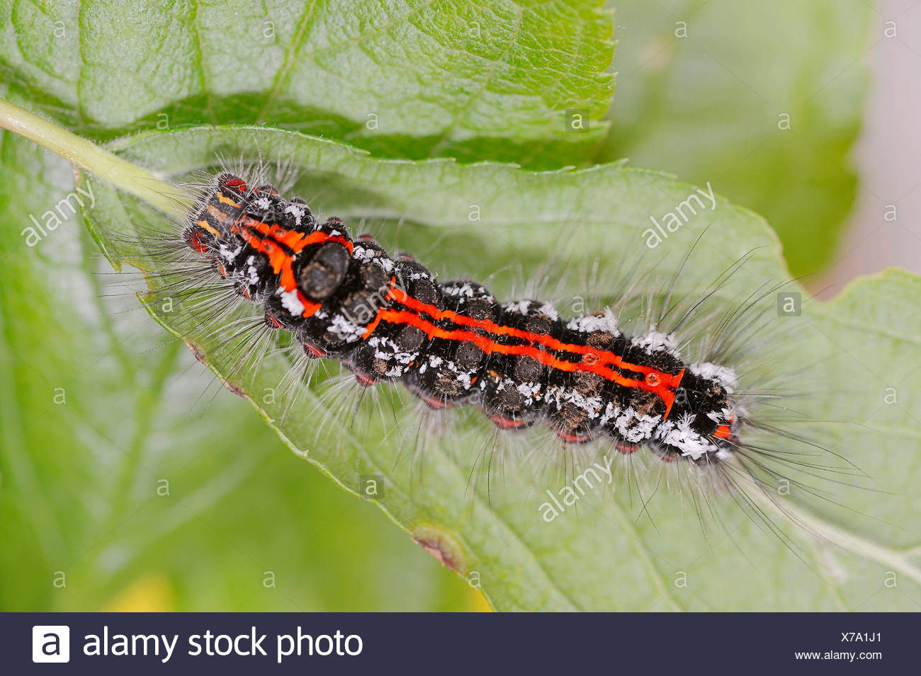 Caterpillar, Yellow-tail or Swan Moth (Euproctis similis), North Rhine-Westphalia, Germany - Stock Image
