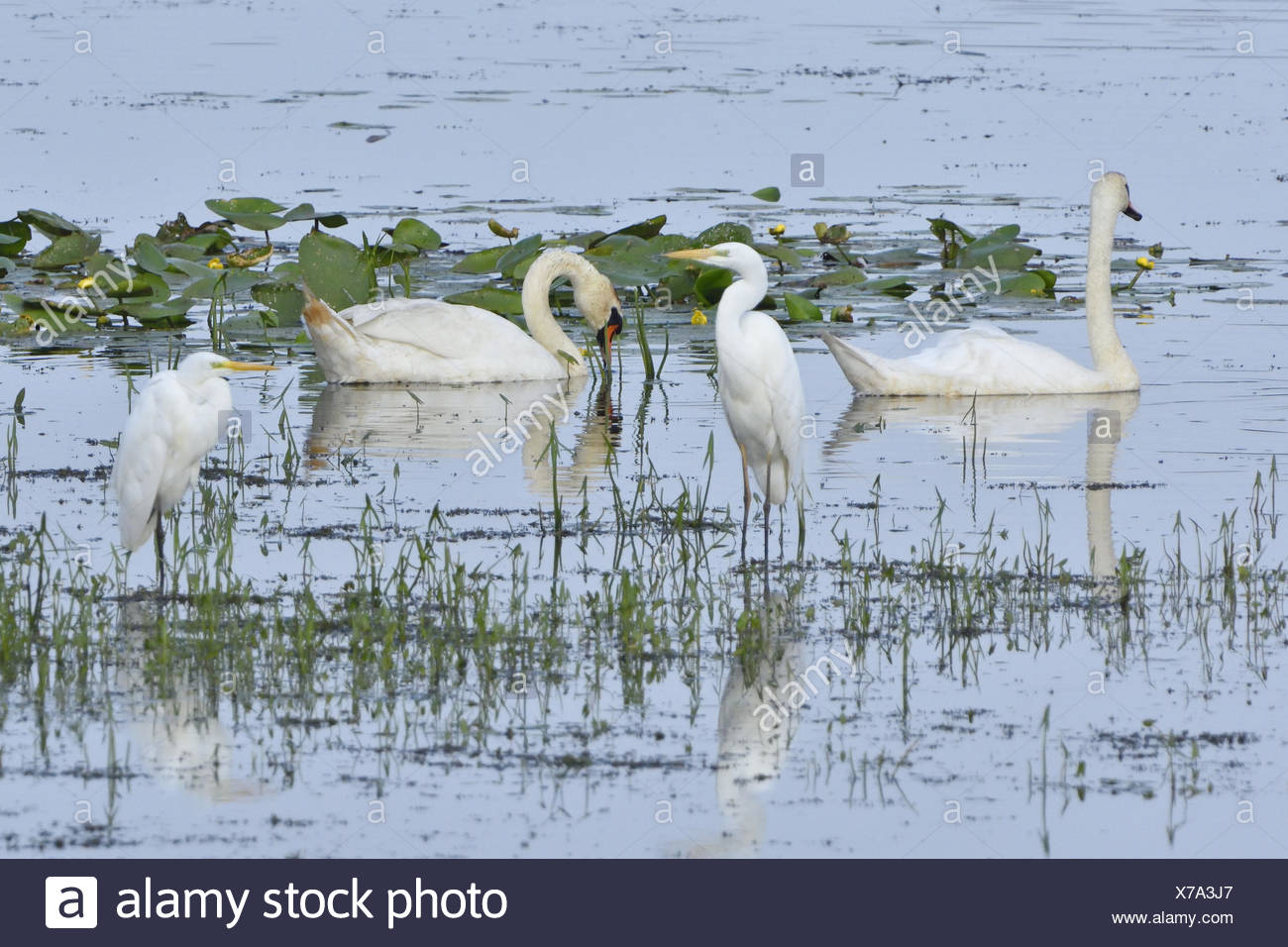 Mute swan and Great egret Stock Photo