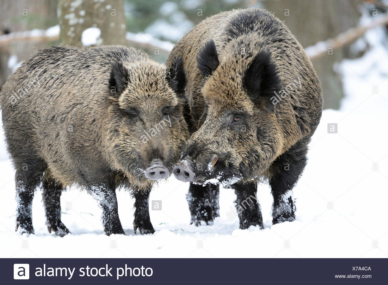 Wild boar, animal, Germany, Europe, Sus scrofa scrofa, sow, wild boars, black game, cloven-hoofed animal, pigs, pig, vertebrates, Stock Photo