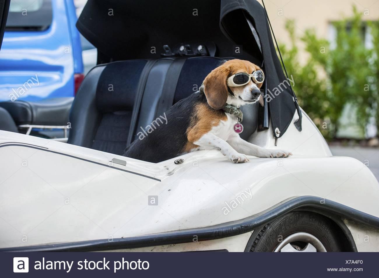 Beagle in car Stock Photo