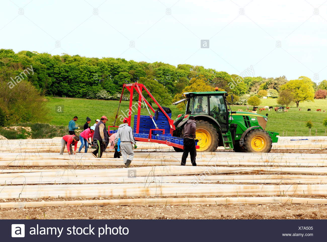 Immigrant casual agricultural labourers, workers, from Romania, Bulgaria, removing polythene tunnels, asparagus crop field, Norfolk, England, UK - Stock Image