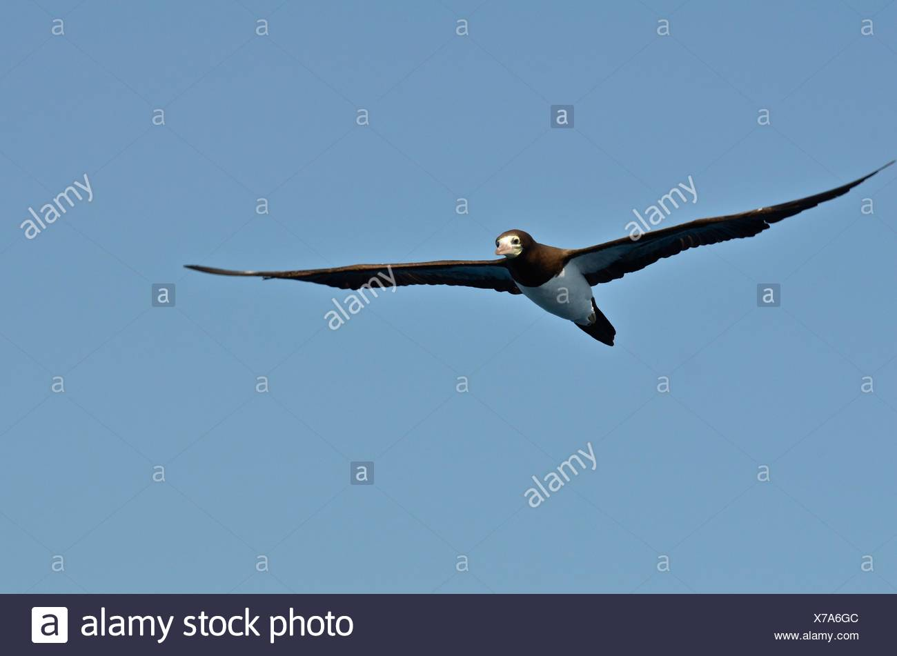 A brown booby, Sula leucogaster, in flight above Corcovado National Park. - Stock Image