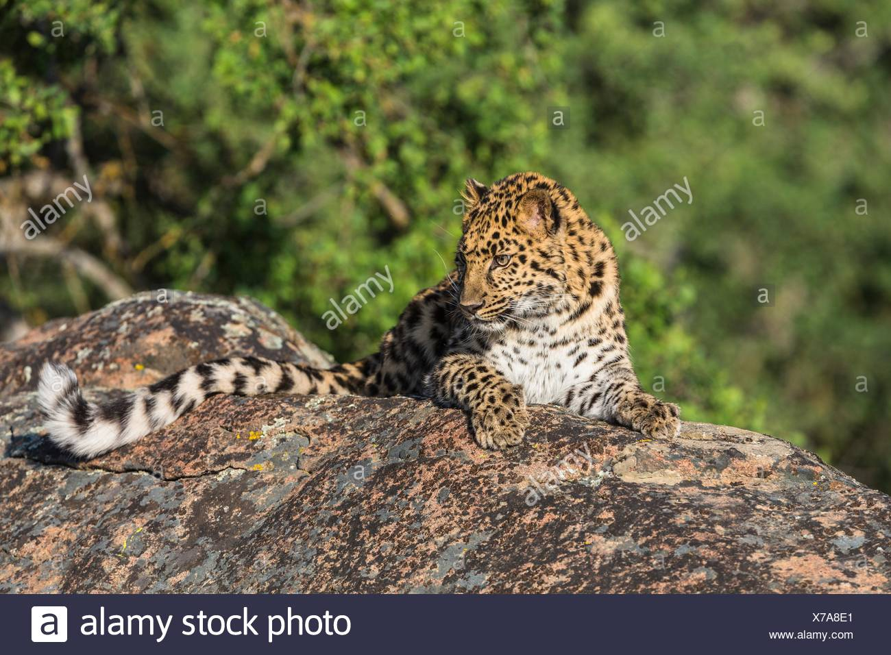 Watchful Amur leopard (Panthera pardus orientalis) on a rock, captive, California, USA - Stock Image
