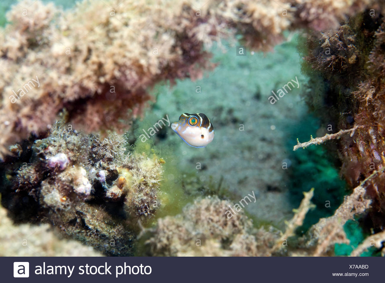 Blacksaddle toby mimic (paraluteres prionurus) in the Red Sea. Stock Photo